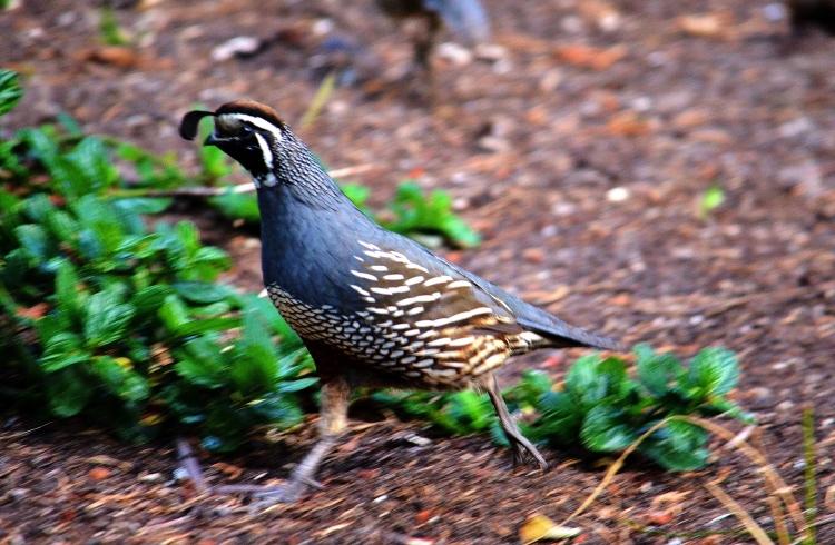 quail on the run - Copy.JPG