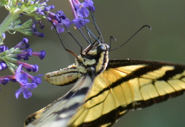 swallowtail up close - Copy