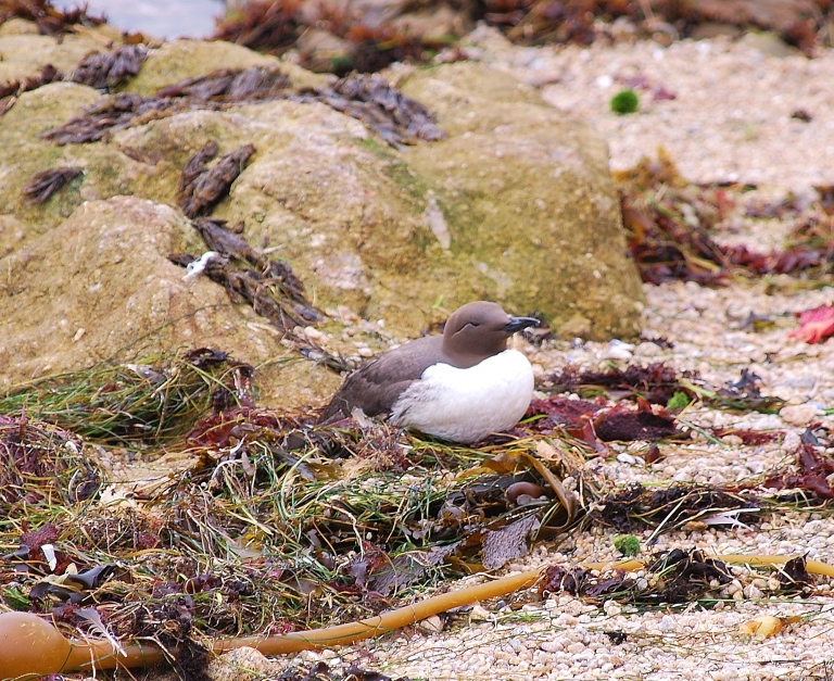 common murre.JPG