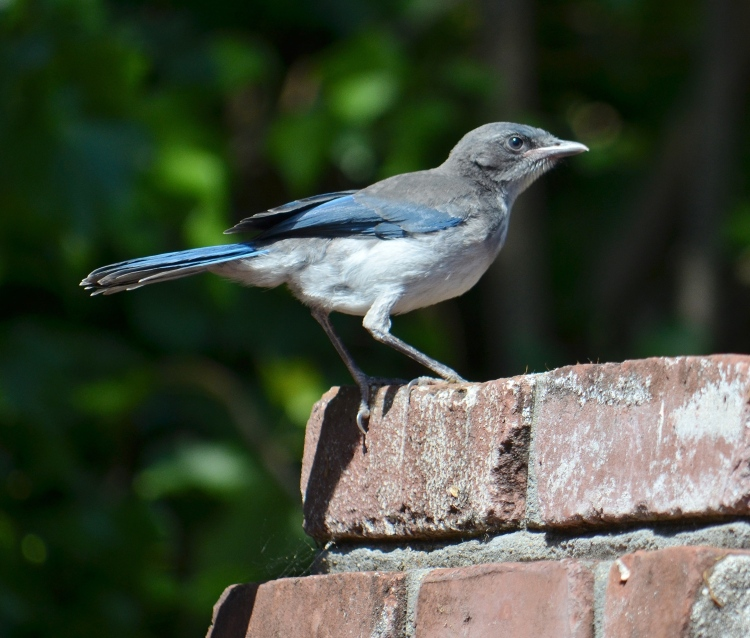 scrub jay on brick.JPG