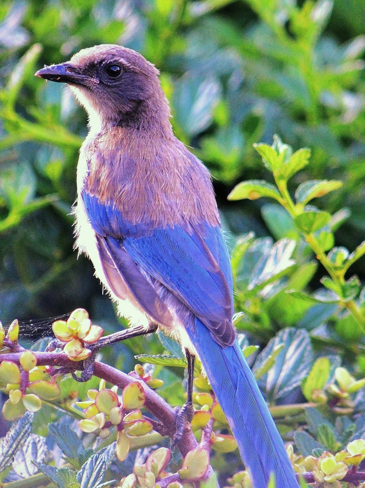 scrubjay - Copy (3).JPG