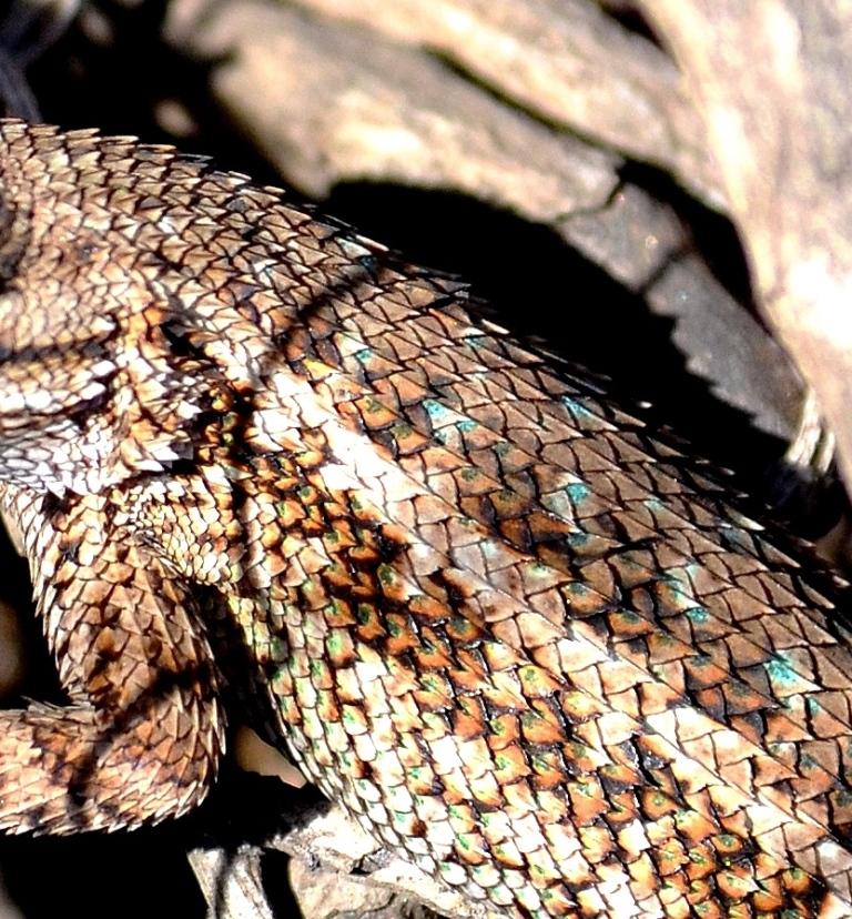 alligator lizard - Copy.JPG