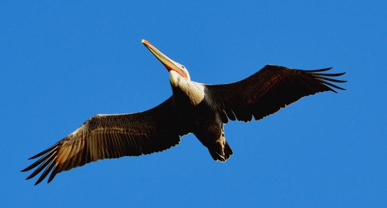 pelican overhead.JPG