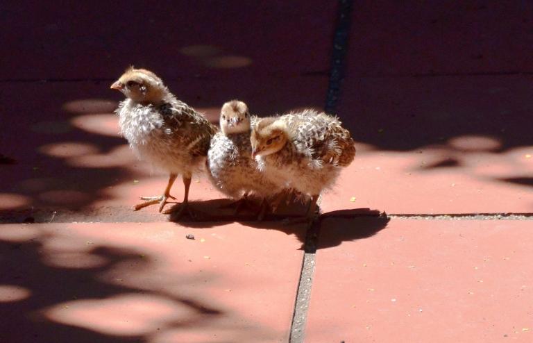 quail chicks.1