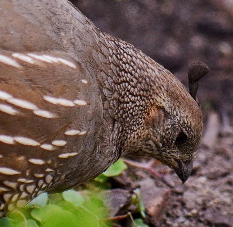 quail tuft.JPG
