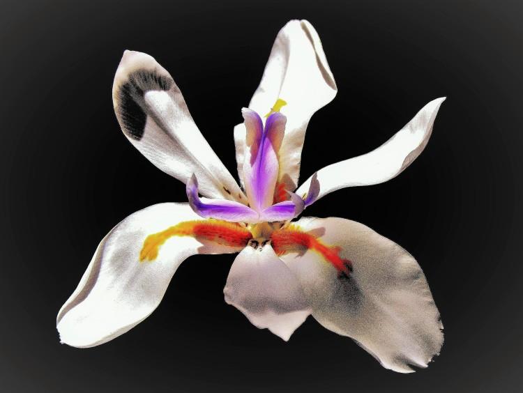 butterfly iris - Copy (3)