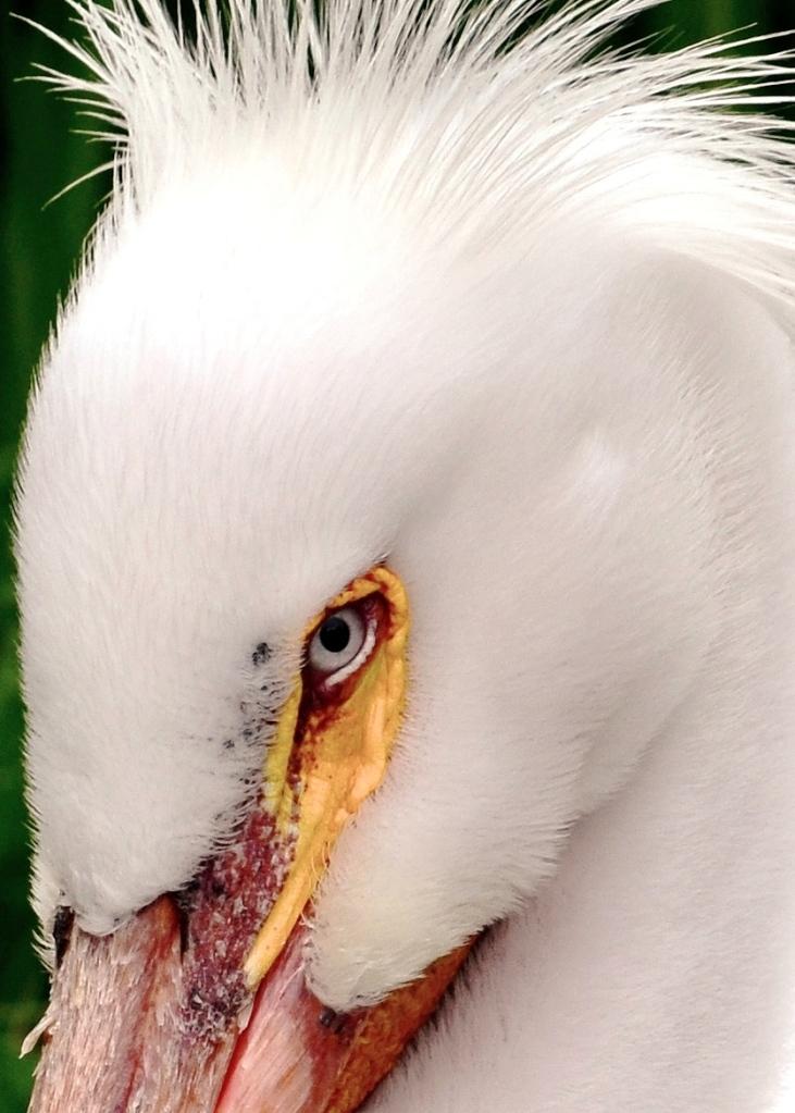 pelican eyes - Copy